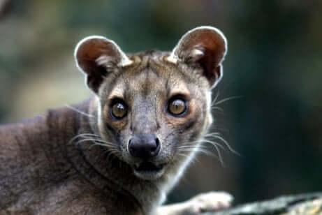 Фосса, самый своеобразный хищник Мадагаскара
