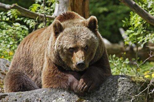 Бурый медведь и медведь гризли - каковы различия?