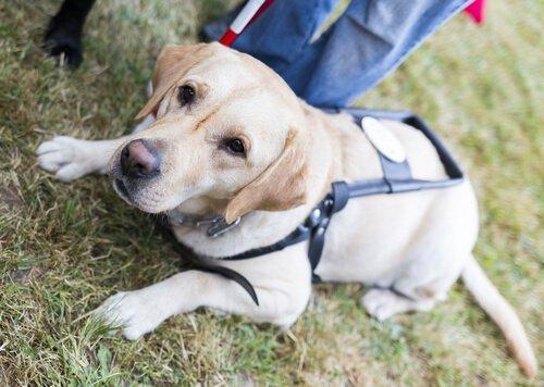 Собака-поводырь от 11. Сентябрь, который вернулся, чтобы спасти своего хозяина