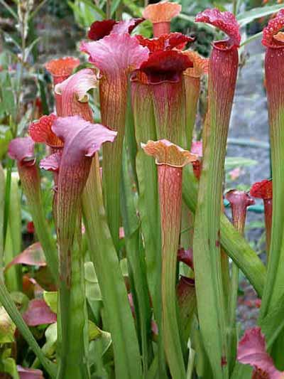 Растения-хищники. Саррацения, Жирянка, Пузырчатка.