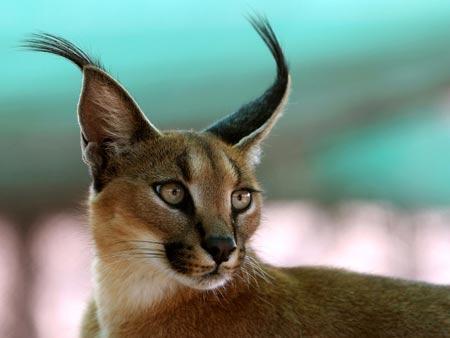 Каракал. Таинственная кошка