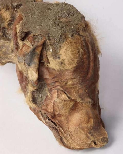 Мумия щенка волка обнаружена в Канаде