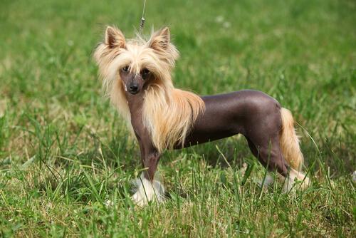 Собаки группы 9: классификация пород в соответствии с FCI