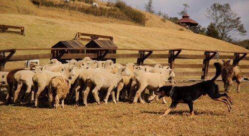 В Леоне Pastor: испанская порода собак