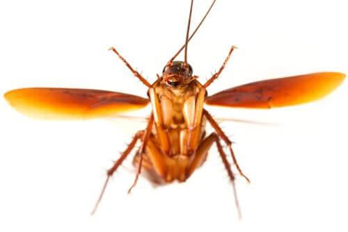 Тараканы: почему эти злые духи летают?