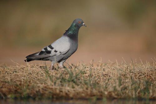 Виды голубей в Испании: 5 различных видов