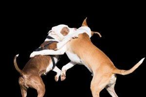 Pitbull: няня собака в викторианском возрасте