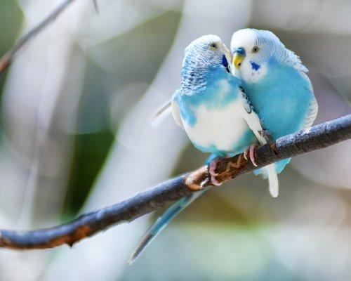 Птицы, как домашние животные, лучше держать в парах