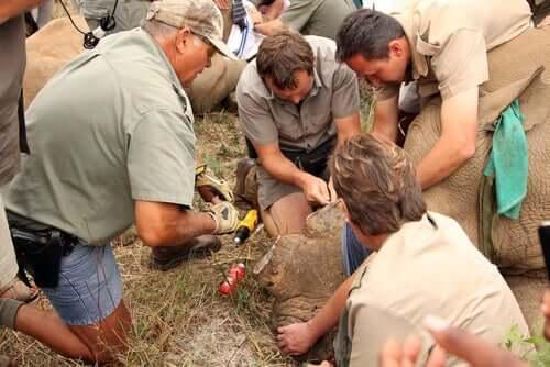 Носороги: впрыскивание яда в рога