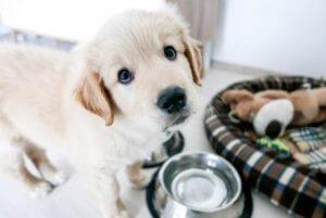 Как щенок учится оставаться дома один?