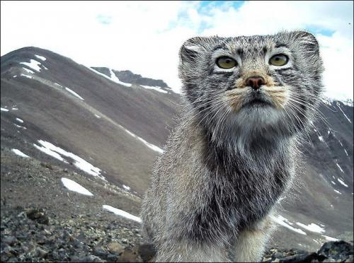 В России сняли камеру с вымирающего кота