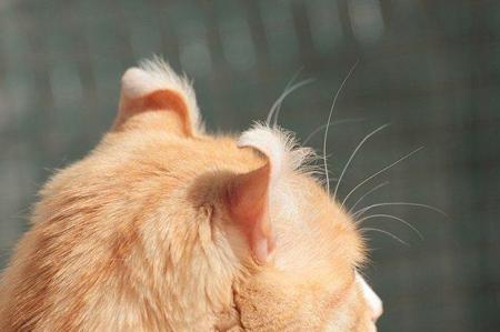 Американский керл. Интеллигентная кошка родом из Калифорнии