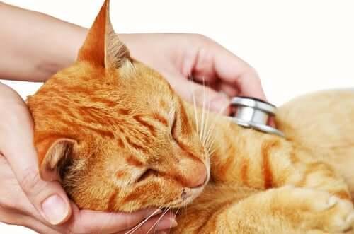 Печеночная недостаточность у кошек: узнайте симптомы