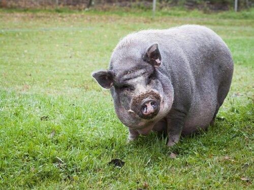 Вьетнамская висячая свинья как домашнее животное