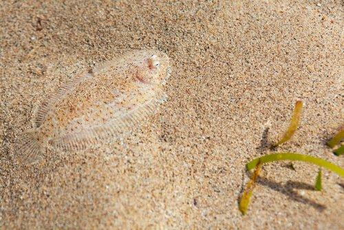 Морской язык и палтус: разница между рыбной ловлей