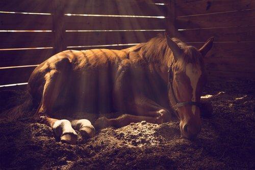 Колики у лошадей: какие виды существуют?