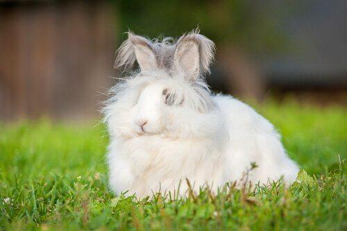 Карликовый Ангорский кролик: подходящая по стилю осанка