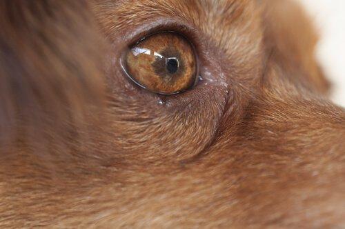 Глазные черви у собаки