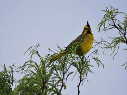 Зеленый кардинал: прекрасный и мелодичный вокал