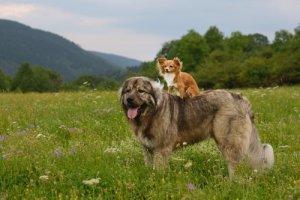 Кавказская овчарка: общительная Собака