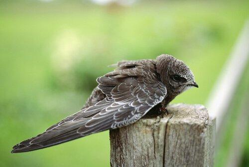 Познакомьтесь с птицей, которая спит, летая