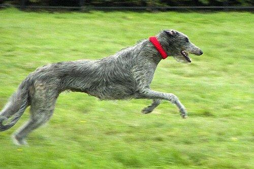 Шотландский Deerhound: Портрет Породы