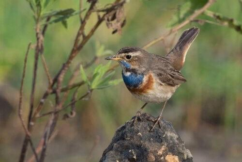 Голубка: особенности этой замечательной птицы