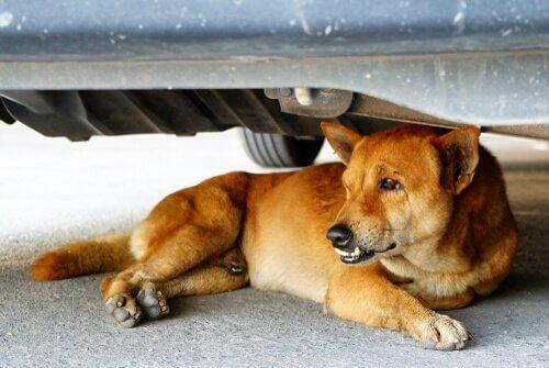 Страх перед автомобилями: как привыкнуть к автомобилям собак
