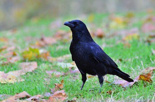Ворона как домашнее животное: возможно ли это вообще?