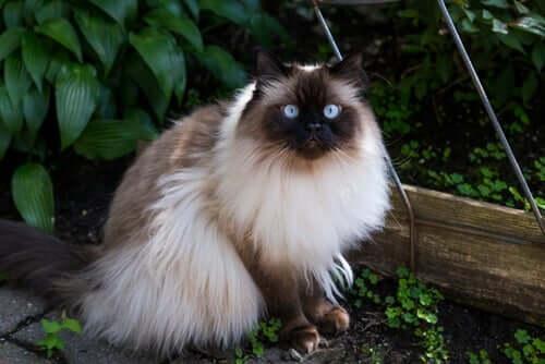 10 длинношерстных пород кошек: общительный и сбалансированный