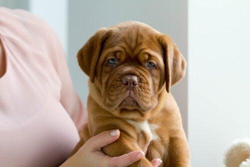 Бордо дог: гигант среди собак