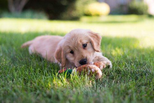 Обучение щенков: раннее упражнение…