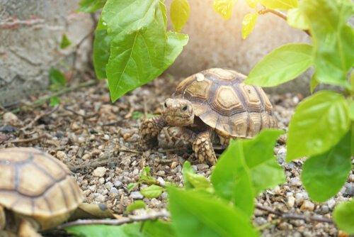 Питание черепахи шпоры: интересные факты