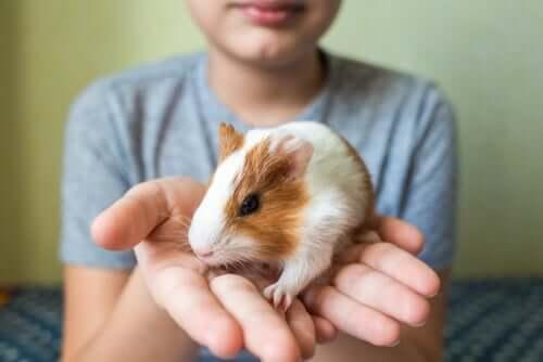 Укрощение морских свинок: советы и советы