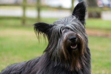 4 шотландские породы собак: универсальный и уникальный!