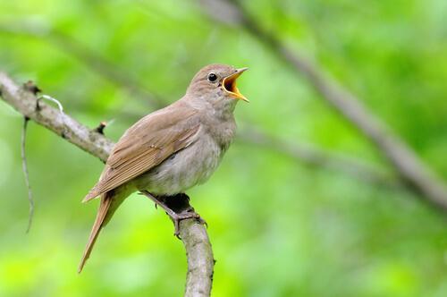 Пение птиц: 5 великолепных видов животных