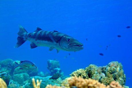 Барракуда, агрессивная и непредсказуемая рыба