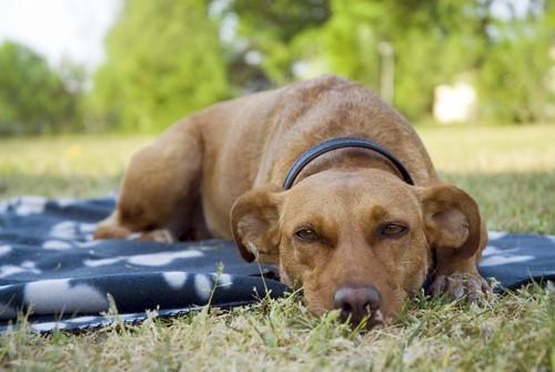 Снижение лихорадки у собак