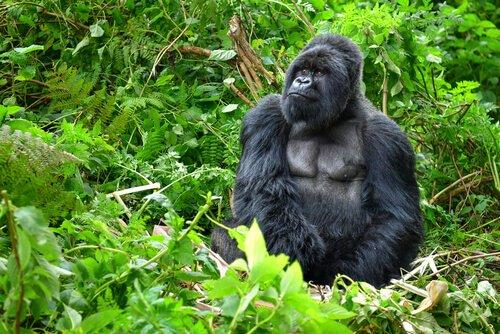 Горных горилл достигают Популяции из 1000 экземпляров