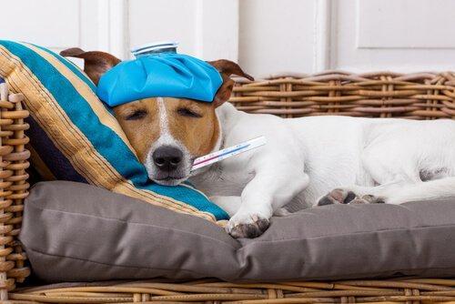Лихорадка у собаки: симптомы и лечение