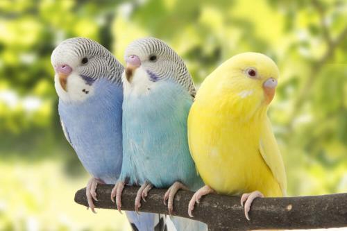 Верные волнистые попугаи и их жизнь