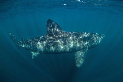 Гигантская акула: среда обитания и свойства