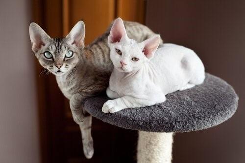 5 самых маленьких кошачьих пород кошек