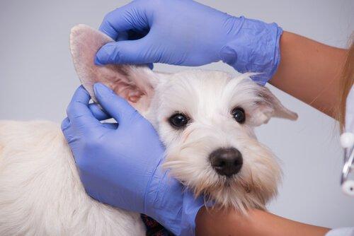 Инфекции у собаки в летнее время
