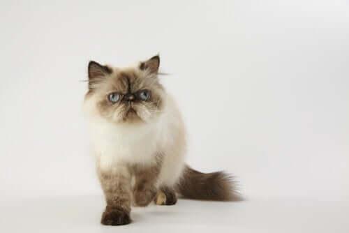 Гималайский кот: крест между персидской и сиамской кошкой