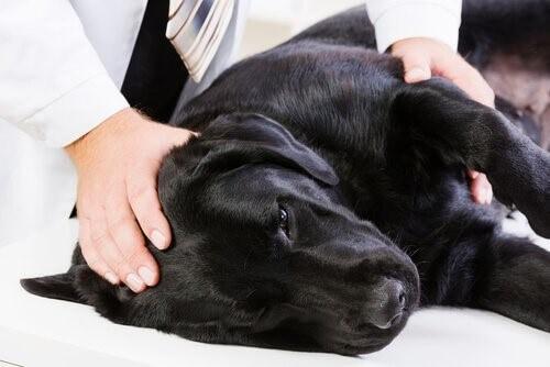 Эпилепсия у собак: симптомы и решения