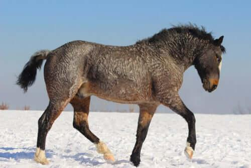 Curly Horse, курчавый конь: таинственный и гипоаллергенный
