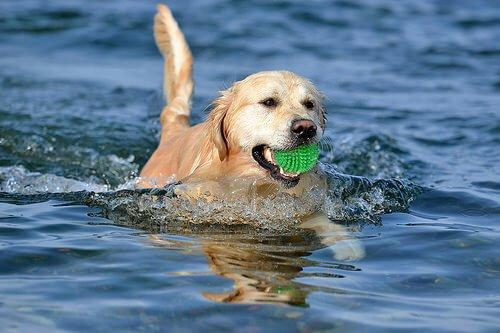 Собака спасает товарищей из реки от утопления