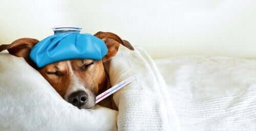 Болезни собак, которые опасны для людей