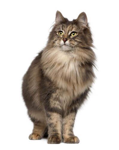 Норвежская лесная кошка, довольно неизвестная порода